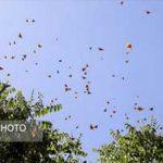هجوم پروانههای زیبا به تهران